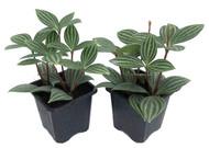 "Parallel Peperomia puteolata - Easy to Grow House Plant -2 Live Plants - 3"" Pots"
