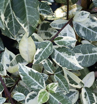 "Variegated Confederate Star Jasmine Plant - 4"" Pot - Extremely Fragrant Vine"