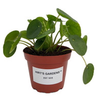 "Extra Large Chinese Money Plant - Pass It On Plant - Pilea peperomioides -4"" Pot"