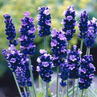 SuperBlue Lavender Herb Plant - Perennial - Live Plant - Gallon Pot