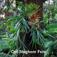 "Staghorn Fern 4"" Hanging Basket - EXOTIC - Platycerium"