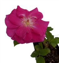 "Brindabella Purple Prince Shrub Rose-One of the World's Most Fragrant - 3.5"" pot"