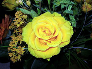 "Nu Gold Miniature Rose Bush - Fragrant/Hardy - 4"" Pot"