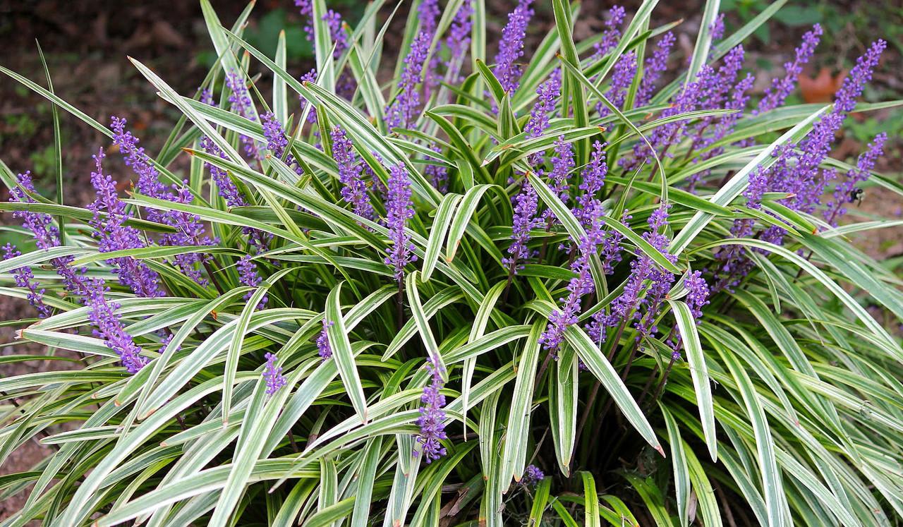 Variegated Muscari Liriope Lilyturf Sun Shade Gallon Pot