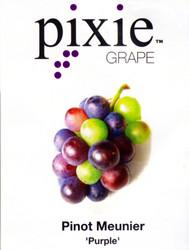 """Amazing Pixie Cabernet Franc Grape Vine Plant -2.5"""" Pot- World's 1st Dwarf Grape"""