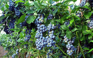 "Toro Blueberry Plant - Huge Berries - Early - Self Fertile - 2.5"" Pot"