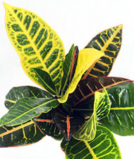 """Colorful Croton - 3"""" Pots - 2 Pack - Easy to Grow House Plant - Codiaeum Petra"""