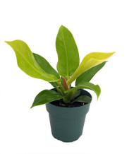 "Moonlight Philodendron - Easy to Grow - 4"" Pot"