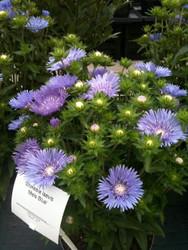 Mel's Blue Stokes' Aster Perennial - Stokesia - Quart Pot