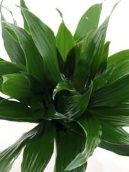"Janet Craig Dragon Tree - Dracaena fragrans - 3.5"" Pot - Easy to Grow"