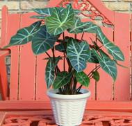 "Ebony Black Shield Plant - Alocasia  - Houseplant with a Jungle Vibe - 6"" Pot"
