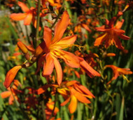 https://d3d71ba2asa5oz.cloudfront.net/12001418/images/crocosmiagoldrush.jpg?refresh