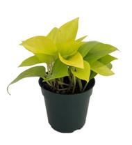 """Neon Devil's Ivy - Pothos - Epipremnum - 4"""" Pot - Very Easy to Grow"""