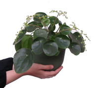 """XXX Large Chinese Money Plant - Pass It On Plant - Pilea peperomioides - 6"""" Pot"""