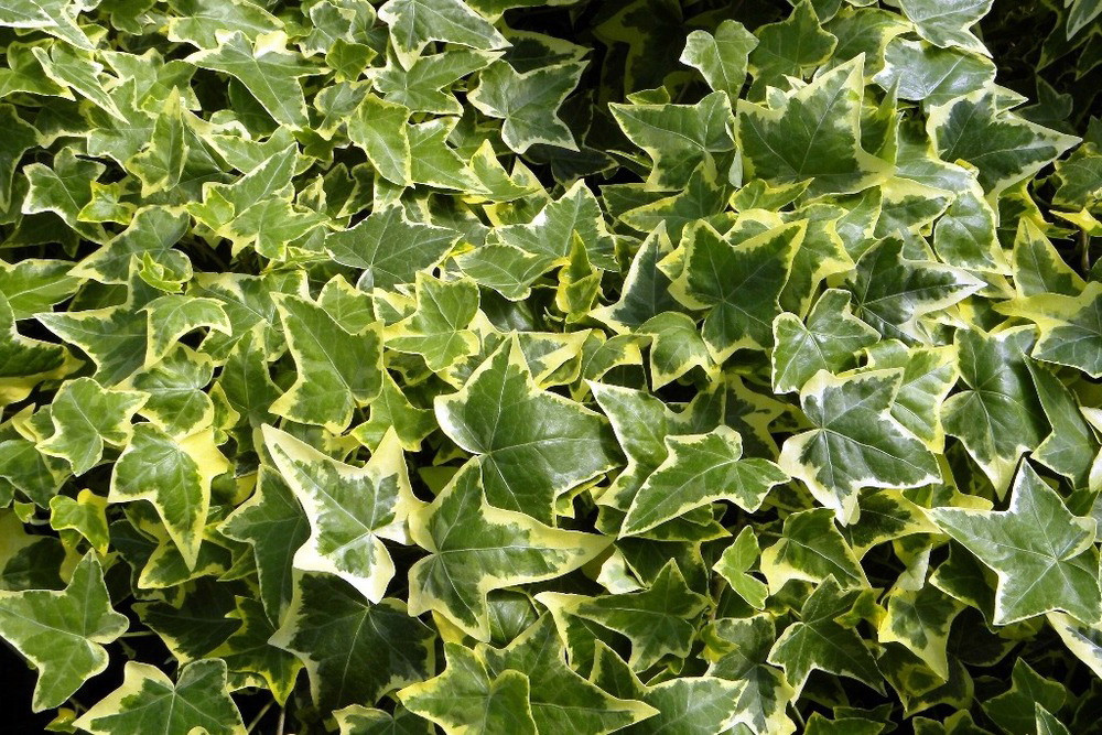 Gold Child English Ivy - Hardy Groundcover/House Plant -Sun/Shade-2 on green and purple plant, strawberry begonia plant, green with yellow flowers ground cover, coprosma mirror plant, hardy banana plant, black and gold plant, foam flower plant, twin leaf plant, malawi gold plant, green leafy plants, eastern smooth beardtongue plant, fly poison plant, coprosma marble queen plant, green cordyline plants, coleonema sunset gold plant, green and white grass plant, green plants with flowers, sundrops plant, florida gold plant, emerald and gold plant,