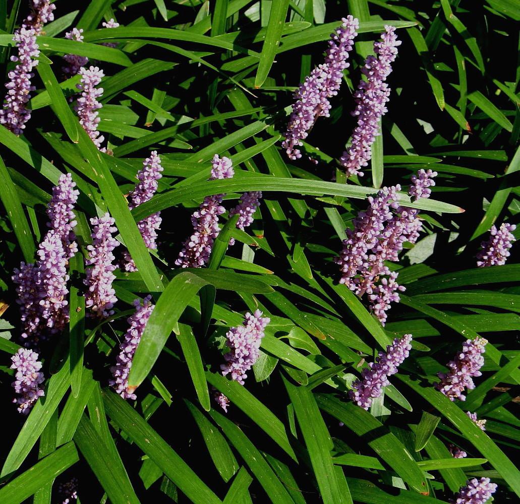 Big Blue Muscari Liriope Lilyturf Sun Shade 48 Plants