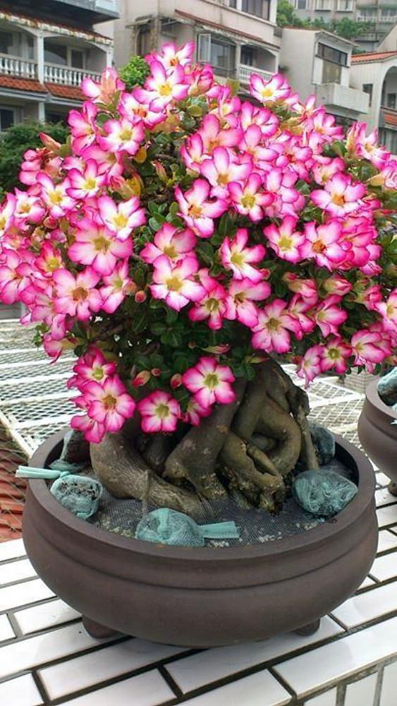 Arabic Desert Rose - Adenium arabi - 6