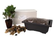 My First Bonsai Tree Kit plus Live Japanese Juniper Tree