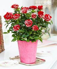 "Parade Gigi Miniature Rose Bush - Fragrant/Hardy - 4"" Pot"