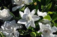 http://d3d71ba2asa5oz.cloudfront.net/12001418/images/gardeniasummersnow1.jpg?refresh
