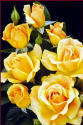 http://d3d71ba2asa5oz.cloudfront.net/12001418/images/roseeasygoing.jpg?refresh