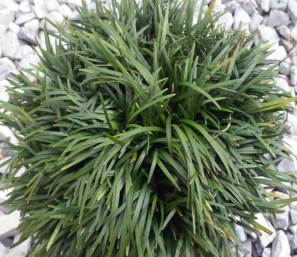 Kyoto Dwarf Mondo Grass 2 Pack 2 Pots Terrarium Fairy Garden