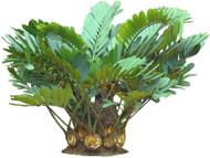 "Rare Dinosaur Cardboard Palm - Zamia furfuracea  - 4"" Pot - Living Fossil Plant"