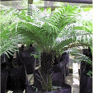 "Silver Lady Tree Fern - Blechnum gibbum - Exotic - Dwarf - 6"" Pot"