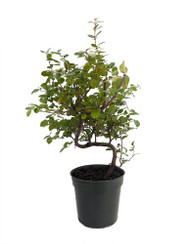 "Chinese Bird Plum Pre Bonsai Tree - Sagaretias - Potted - 4"" Pot"