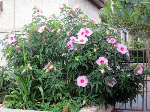 http://d3d71ba2asa5oz.cloudfront.net/12001418/images/hibiscusladybaltimorehr3.jpg?refresh