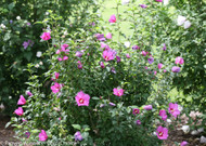 http://d3d71ba2asa5oz.cloudfront.net/12001418/images/proven_winners_hibiscus_lil_kim_violet_rose_of_sha.jpg?refresh