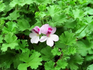 http://d3d71ba2asa5oz.cloudfront.net/12001418/images/pelargonium_lemona_02.jpg?refresh