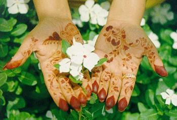 bf5cb47c3 Tattoo Henna Plant - Indoors/Out - Lawsonia inermis alba - Rare! - 4 ...