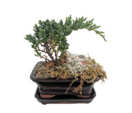 https://d3d71ba2asa5oz.cloudfront.net/12001418/images/holidayjuniperbonsai.jpg?refresh