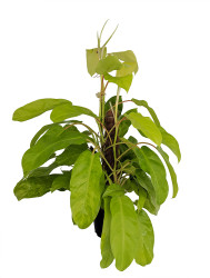 """Hirt's® Golden Goddess Philodendron - Easy House Plant to Grow - 6"""" Pot/Totem"""