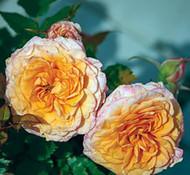 "Parade Milla Miniature Rose Bush - Fragrant/Hardy - 4"" Pot"