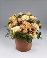 "Parade Chantal Miniature Rose Bush - Fragrant/Hardy - 4"" Pot"