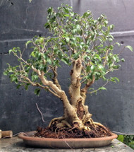 "Too Little Weeping Fig - Ficus benjamina - 4"" pot - House Plant/Bonsai"