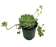 "Clustering Mexican Rose - Echeveria prolifica - Succulent Plant - 3.5"" Pot"