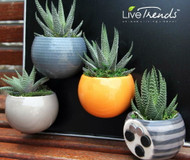 "Magnetized Nordic Planter/Live Succulent Plant-3"" x 5"" -Blue Sweater-Live Trends"