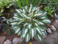 "Pin-Up Girl Hosta - 4"" Pot"