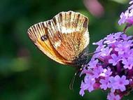 Nanho Purple Butterfly Bush - Buddleia - Very Hardy - Gallon Pot