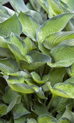 "Punky Hosta - 4"" Pot - Yellow-Green Center with Blue Border"
