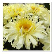 "Real Charmer Shasta Daisy Perennial - Leucanthemum - 3"" Pot"