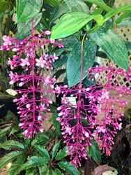 "Philippine Pink Orchid Plant - Medinilla apoensis - Exotic - 4"" Pot"