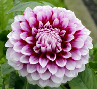 Aitara Diadem Decorative Dahlia - 2 Root Clumps - NEW!