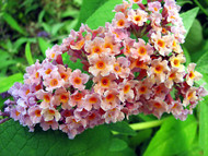 "Bi-Color Butterfly Bush - Buddleia - 3"" Pot"