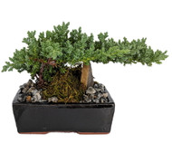 "Japanese Juniper Bonsai Tree - 6"" Ceramic Pot - Pebbles/Rock/Moss"