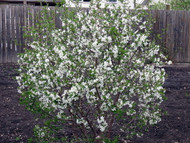 "Juliet Bush Cherry Plants - Red Fruit in Late Summer - 18"" Bareroot"