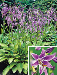 "Purple Sensation Hosta - Attractive Purple Flower Clusters - 4"" Pot"